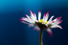 Daisy, close up photo by !.Keesssss.!