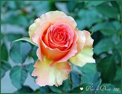 Rose of California photo by matlacha