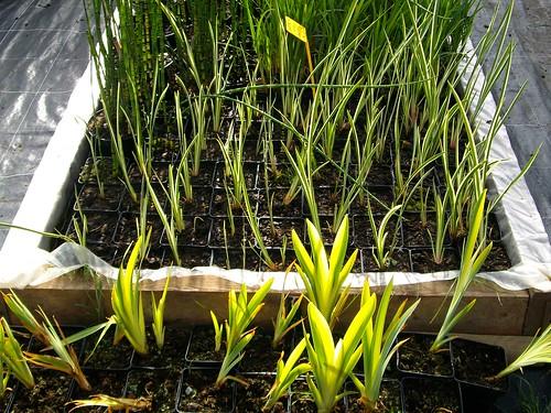 plantes d'eau