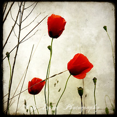 Three Poppies photo by Marc Loret