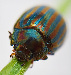 ROSEMARY LEAF BEETLE photo by scott1723