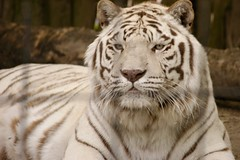 White Tiger Bowmanville Zoo photo by windsurfer905
