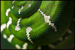Emerald Tree Boa photo by keegstr