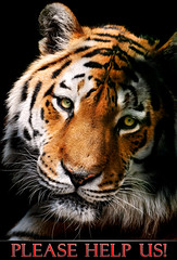 2010, the year of the Tiger photo by Tambako the Jaguar