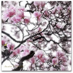 Magnolias photo by Ronaldo F Cabuhat