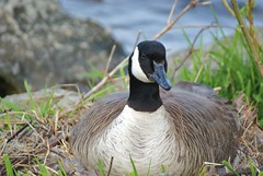 Nesting Goose photo by chumlee10