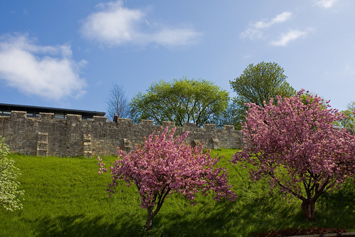 York Blossom