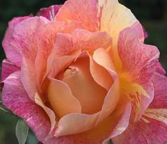 "Rose ""Monet"" photo by El@_56"