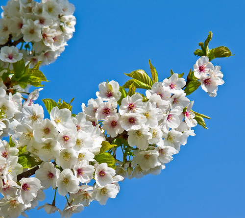 Hull Centre Blossom
