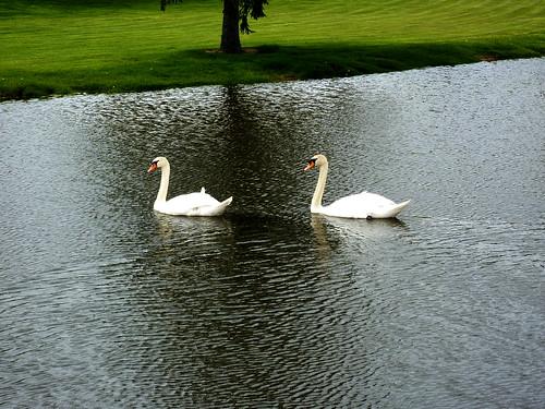 2 swans on Watermark pond