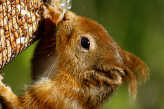 Red Squirrel photo by erikpaterson