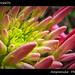 Multiple Torpedo (Spider Flower) / ตอร์ปิโด ตูม ตูม ตูม (ผักเสี้ยนฝรั่ง)