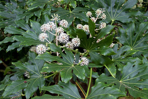 Fatsia japonica in flower
