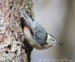 White-breasted Nuthatch photo by Chris M. Williams
