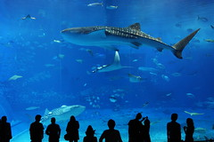 Okinawa Churaumi Aquarium photo by Teruhide Tomori