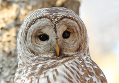 Barred Owl photo by Don Delaney