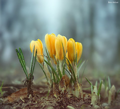 Crocuses photo by Ben Heine
