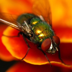 Green Bottle Fly: Square crop photo by Dialed-in!