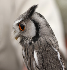 White faced scops owl. photo by Tricia Laing