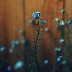 I love that my back yard is full of these blue flowers photo by lydiafairy