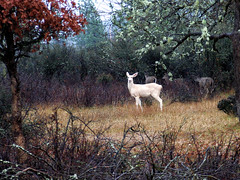 White Deer (3) photo by Beyond the Trail