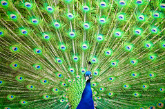 Indian Peafowl photo by Sergiu Bacioiu