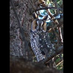Long-eared Owl photo by annkelliott