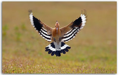 The Hoopoe photo by zahoor-salmi