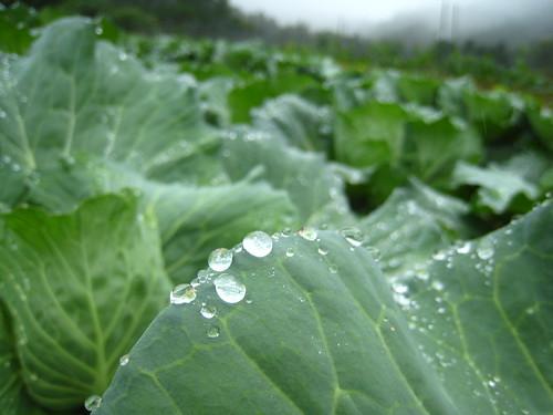 高麗菜葉上水珠