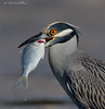 Yellow-Crowned Night Heron with Fish