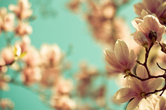 Magnolia Magnificence by Kala_M