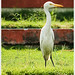 Stand like a Egyptian* (Great Egret)