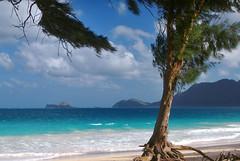 Ironwood Tree (Casuarina equisetifolia) Bellows Beach in Oahu Hawaii/ Beach/ Pacific ocean/ Rabitt island/ HI photo by Jeff Rose Photography