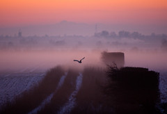 Barn Owl, snow and mist just after sunset. photo by Martyn Fordham LRPS