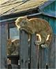 Borovsk.-Cats