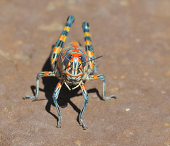 Rainbow Grasshopper, Dactylotum bicolor photo by Dave Beaudette