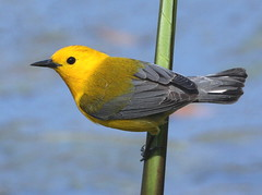 The Prothonotary Warblers are back! photo by BoggyBayou