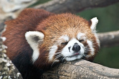 Red Panda Just Barely Awake at the Beijing Zoo photo by D200-PAUL -- On Holiday