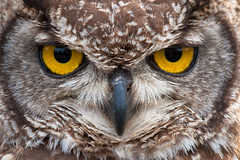 Owl Portrait photo by Andy Biggar Photography (Otter Spotter)
