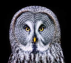 Great Grey Owl on Black photo by Steve Wilson - over 4 million views Thanks !!