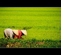 Vietnam | Hoi An city: Seeding~ photo by Vu Pham in Vietnam