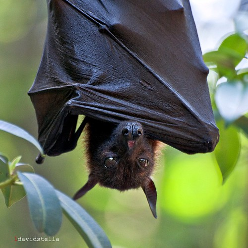Pteropus {flying fox}