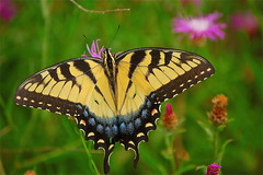 tiger swallowtail butterfly photo by minxslp