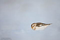 Snow Bunting on a cloud