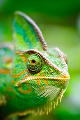 Cameleon photo by Sergiu Bacioiu