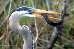 Great Blue Heron Close-Up at Shark Valley, Everglades National Park photo by D200-PAUL
