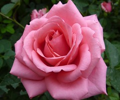 A Pink Rose photo by Luigi Strano