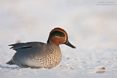 Eurasian Teal in snow