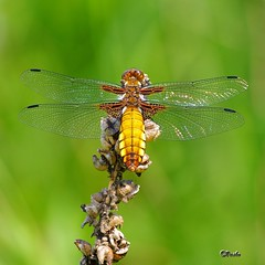 Broad-bodied Chaser (Libellula depressa) photo by vaskos66