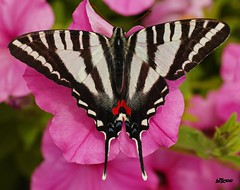 Colorful Butterfly on pink flower photo by billcoo
